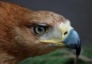 Un plan de conservación logra frenar la alta mortalidad de águilas imperiales en Doñana.